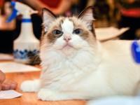Дрессированные кошки дома