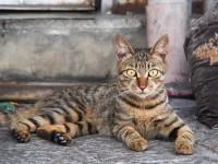 Кошка леопардового окраса