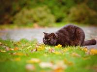 Шоколадный окрас британского котенка