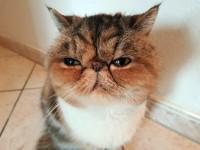Кошки с приплюснутым носом
