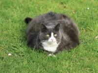 Самый жирный кот в мире