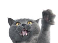 Что делать, если у кошки наросты на подушечках лап?