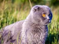 Что надо знать о кастрации шотландских котов