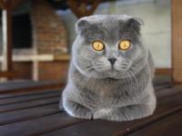 Как сводить шотландскую вислоухую кошку?