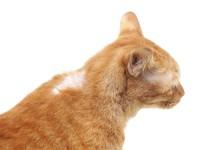 Облысение живота у кошек