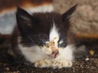 Как лечить вирусный ринотрахеит кошек?
