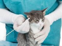 Почему у кошки гноится ухо?