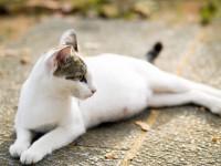 Что делать, если у кошки опух сосок?