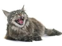 Что делать, если стерилизованная кошка орет