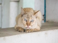 У кошки текут слюни и высунут язык