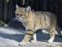 Описание породы Барханная кошка