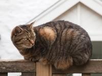 Почему у кошки большой живот?