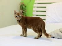 Стерилизуют ли нерожавших кошек