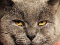 Симптомы и лечение кашля у кошек