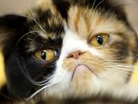 Что делать, если у кошки гормональный сбой?