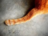 Почему у кошки сальный хвост?