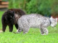 Продолжает ли кастрированный кот хотеть кошку