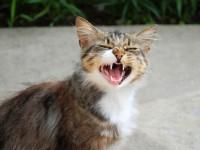 Почему кошки зевают?