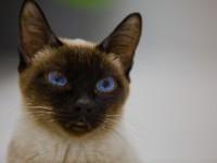 Описание самаой маленькой породы кошек в мире
