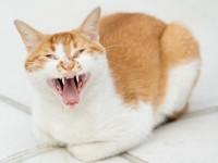 Почему стерилизованная кошка просит кота