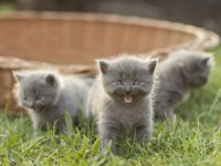 Почему котята мурлыкают