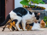 Как кошки занимаются спариванием?