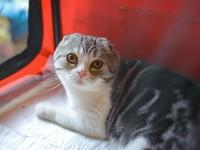 Продолжительность жизни шотландской вислоухой кошки