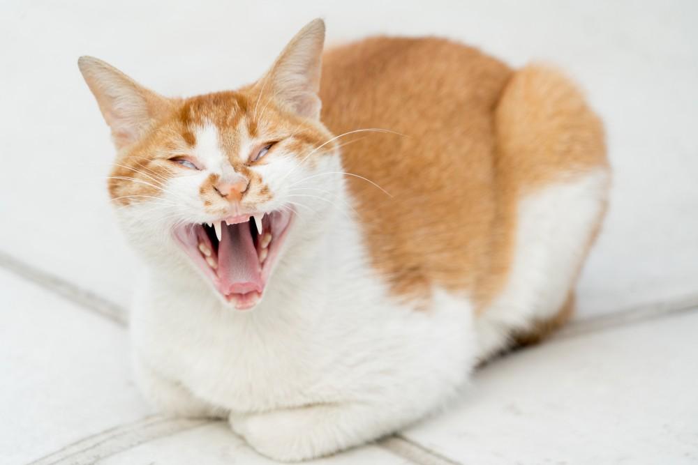 Почему постоянно мяукает стерилизованная кошка