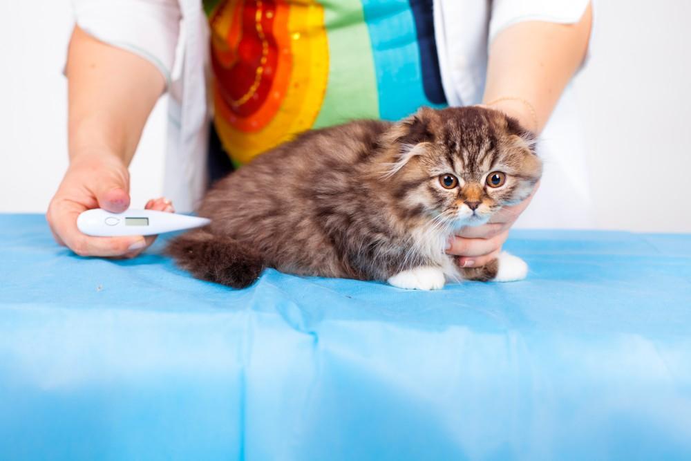 Сбить температуру коту в домашних условиях 457
