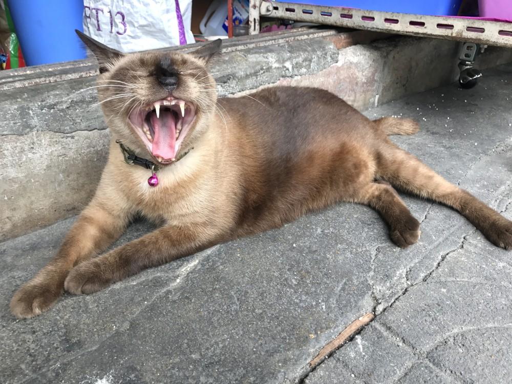 Скрежет зубами у кошек