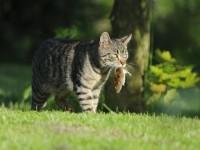 Поедают ли кошки мышей