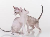 Как у котов сфинксов происходит вязка