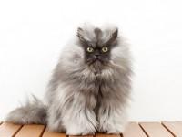 Какой самый пушистый кот в мире?