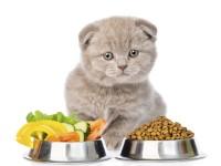 Правильное питание шотландского котенка