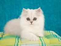 Характеристика породы кошки серебристая шиншилла
