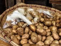 Можно ли котам картошку?