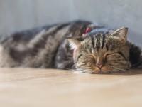 Что делать, если у кота песок в мочевом пузыре?