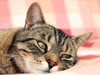 7 признаков наличия глистов у кошек