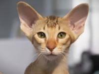 Кошки которые не вызывают аллергию