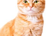 Рыжий кот с зелеными глазами
