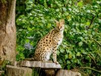Самые редкие кошки в мире
