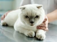 Симптомы и лечение мочекаменной болезни у кота