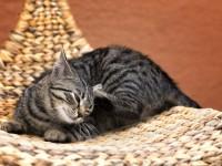 Лечение чесотки у кошек в домашних условиях