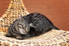 Как избавить кошку от блох?