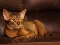 Кошка породы абиссинец