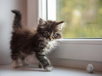 Что делать, если у котенка вздутие живота?