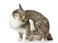 Кошка чешется до болячек и при этом выпадает шерсть