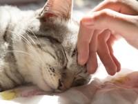 Почему кошки урчат?