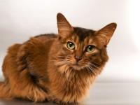 Какая норма глюкозы у кошек?
