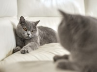 Характер британской кошки